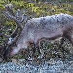 RAINDEER IN LONGYEARBYEN