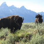 Bison in front of the Tetons