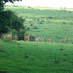Dartmoor_Deers