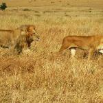 Lion and lioness off to do the business