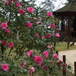 公園内にはいろいろな種類の椿が植えられています。