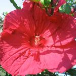 The giant hibiscus in our garden, late summer