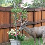 Oh Deer! A local visitor has stopped to smell the flowers.