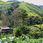 Tea Plantation nearby