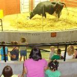 Watching mama cow and her newborn calf in the birthing barn