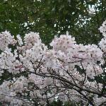 Cherry Blossoms at Tsumagoi