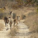 Zebras at the safaris