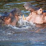 Hippos splashing about for your entertainment