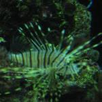Big Lionfish