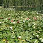 Beautiful Lily Pads