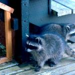 Raccoons visit outside our window