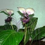 Citysider Cairns - Rare White Bat