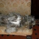 Oscar - the Castle Irish Wolfhound