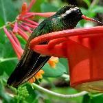 white eared hummingbird