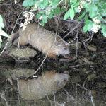 groundhog at shoreline