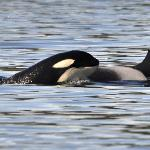 Orca calf catching a ride