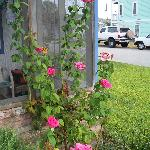 Picture of the rose bush outside my door