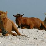 Horses napping on the beach