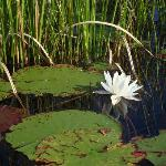 A lovely pond full of waterlilies