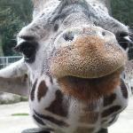 la fameuse girafe