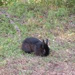 Tame black rabbit