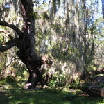 Oak with spanish moss
