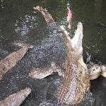 Croc Farm - Feeding Time