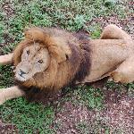 Male Lion - Croc Farm