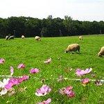 羊とコスモス