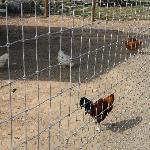 Chickens at Barnyard Buddies at Milburn Orchards