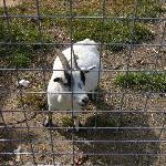 Goat at Barnyard Buddies at Milburn Orchards