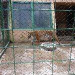 tigre deseperado por poder caminar y tras las rejas.