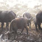 Buffalo at saltlick, Tsavo