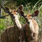 Kudu Calves