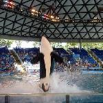 Shamu at Sea World