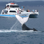 Whales play in Hervey Bay