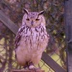 Clyde our Bengal Eagle Owl
