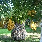 Palmier des jardins du Club