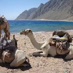 Happy Life Village, Tarek the bedouin's camels