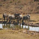 Game drinking at the waterhole in front of lodge