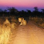 Lion, after sunset