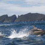 Dolphins in Fortescue Bay