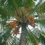 Eine King Cocos Palme