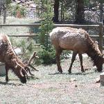 Elk right outside your doorstep
