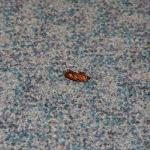 Close-up of dead roach in the hallway