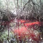 El manglar, tinto de rojo, efecto que se produce en temporada de lluvias, impresionante.