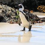 Boulder Bay African Penguin