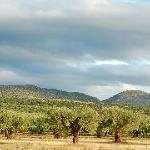 View of the organic olive grove