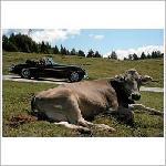 Pässefahrt zwischen Kühen