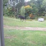 Moose Outside of Cabins